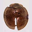 Review of Coeliaria (Coleoptera: Coccinellidae: ...