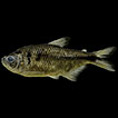 Astyanax taurorum a new species from ...