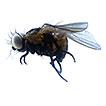 Phytobia (Diptera: Agromyzidae) from ...