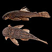 Occurrence of phoresy between Ancistrus ...