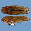 Two new species of Polana (Hobemanella) ...