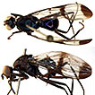 Taxonomic revision of Megalothoraca (Diptera: ...
