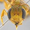 Xenochlora meridionalis sp. nov. (Hymenoptera: ...