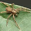 Updates on Berlandiella (Araneae: Philodromidae): ...