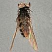 Type specimens of Limnophorini (Diptera: ...