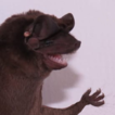 The chiggerflea Hectopsylla pulex (Siphonaptera: ...