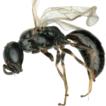 Taxonomic study of Spilomena (Hymenoptera: ...