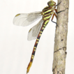 Dragonflies (Insecta: Odonata) from Mananciais ...