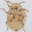 A new species of aphid of the genus Nipponaphis ...