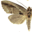 A review of the Neotropical moth genus ...